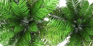 palma di betel Areca catechu