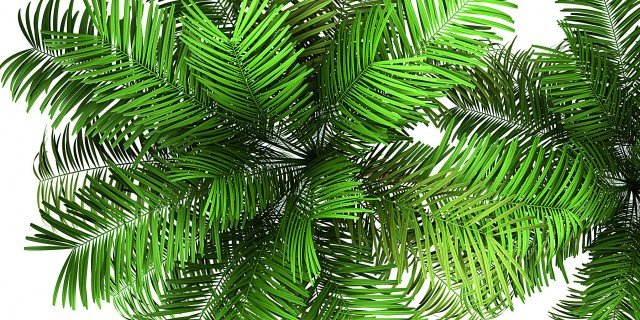 Areca catechu: la palma che cresce in casa