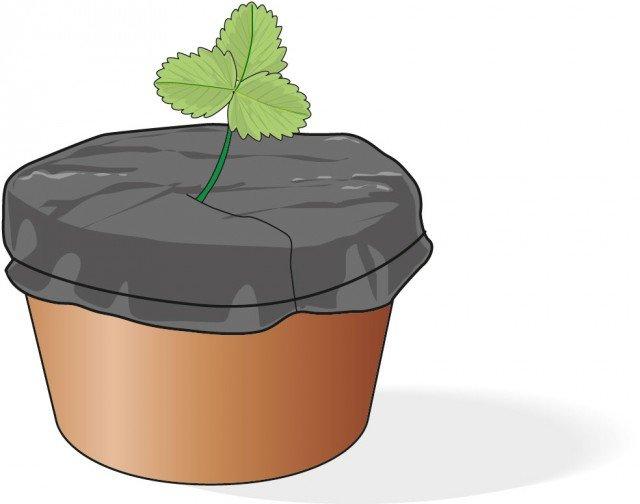 Sulla superficie del nuovo vaso adagiare un telo plastico nero in modo che l'umidità possa essere trattenuta e da scongiurare la crescita di erbe infestanti. Nel caso si preferisca non mettere la plastica, occorre intensificare le bagnature ed estirpare manualmente le varie erbacce.