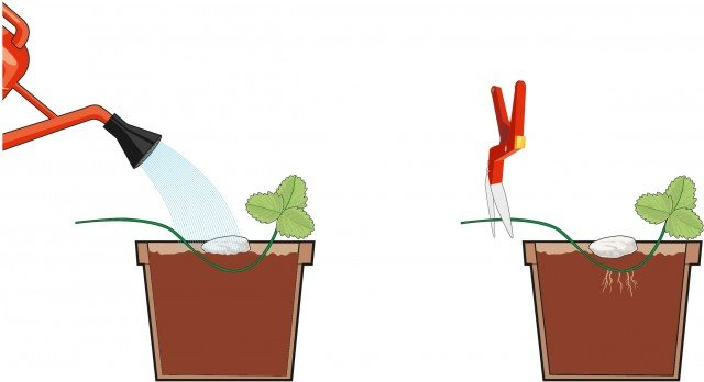 Fig.2 Si mantenga il suolo umido con abbondanti annaffiature incoraggiando in questo modo la crescita delle radici. Non appena la nuova pianta avrà messo le radici si recida lo stolone dalla pianta madre, con un paio di cesoie affilate e sterilizzate, prima del punto di radicazione.
