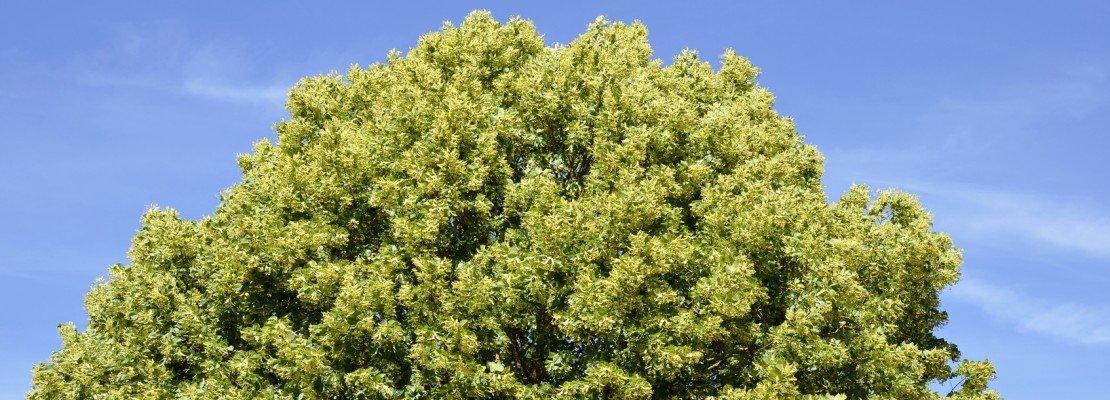Alberi per il giardino ecco i cinque pi veloci cose di for Alberi a crescita veloce