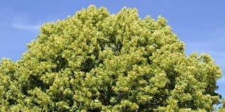tiglio albero crescita rapida