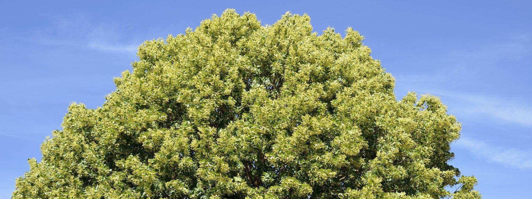 Acero Radici Invasive alberi per giardino: ecco cinque a crescita rapida più