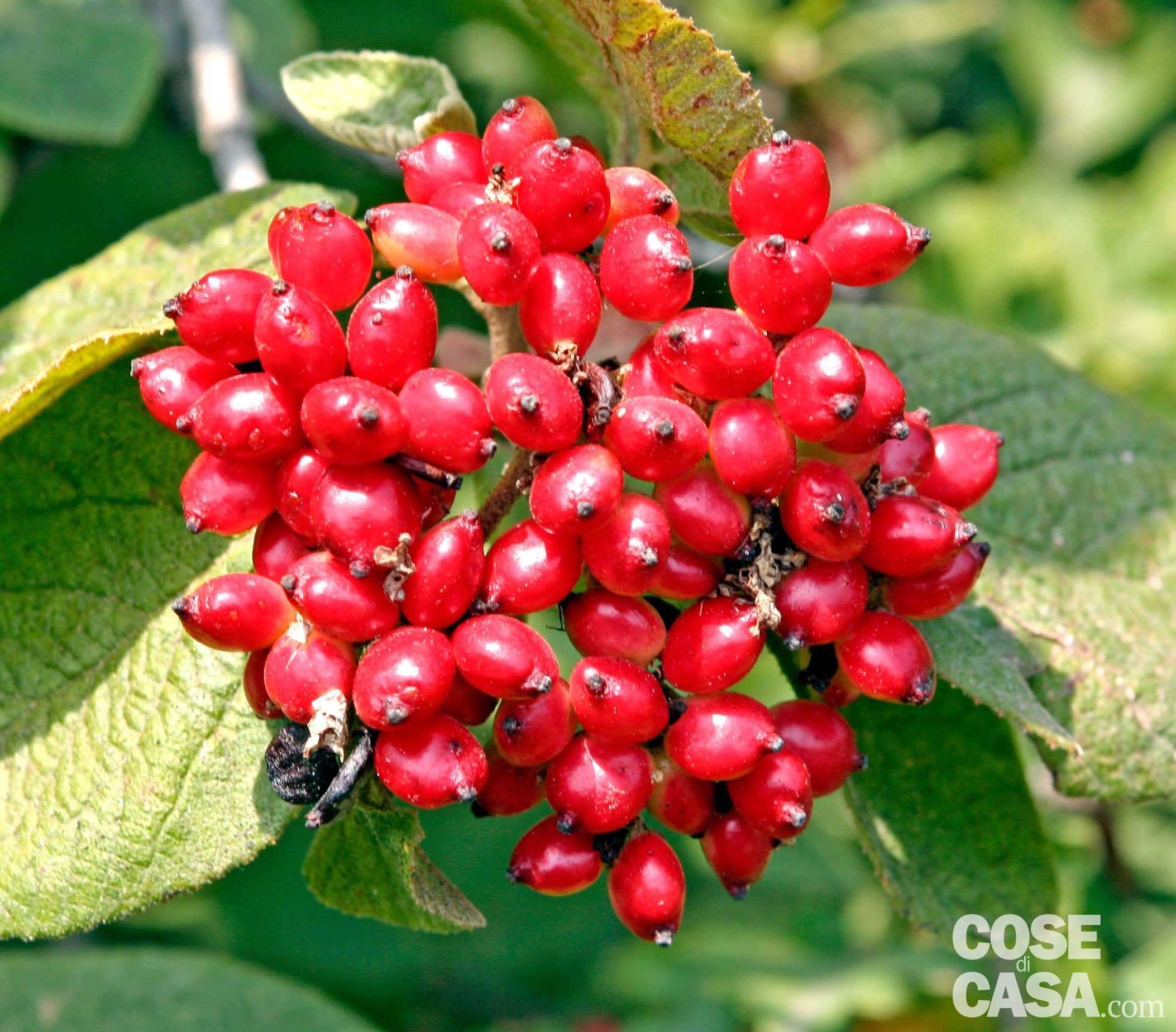 Albero Con Bacche Rosse viburnum lantana - lantana: cure pianta, manutenzione - cose
