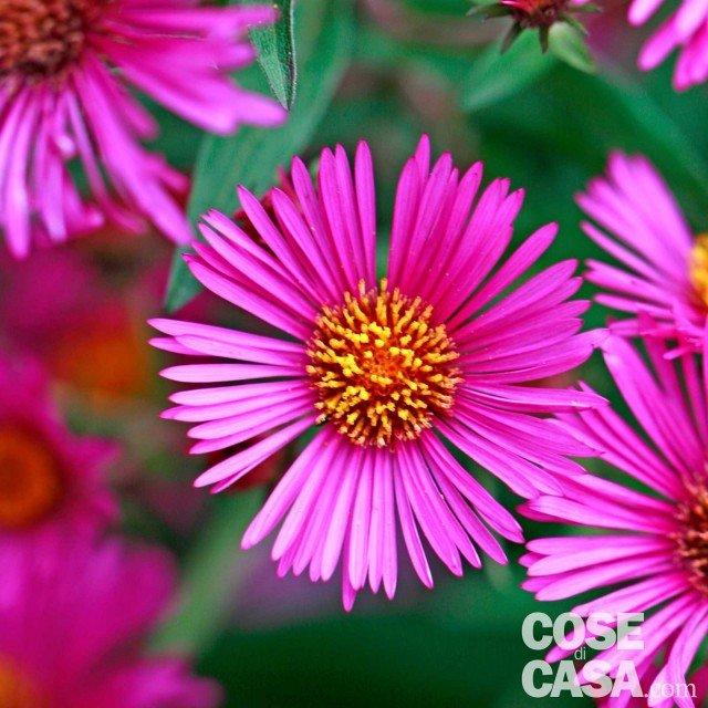 Astri settembrini cose di casa - Settembrini fiori ...