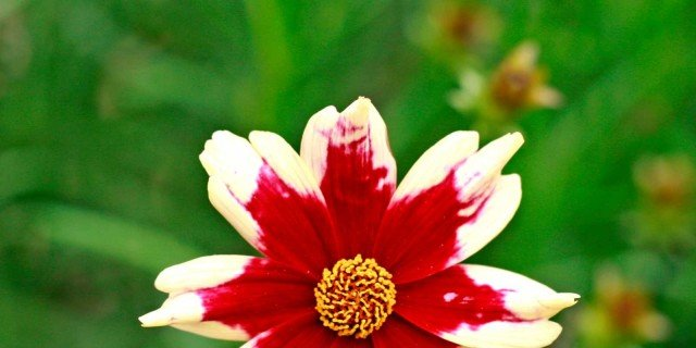 "Coreopsis ""Ruby Frost"""