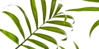 kentia palma