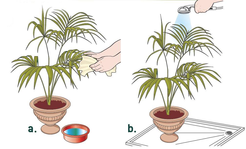 Kentia la palma facile cose di casa for Palma pianta