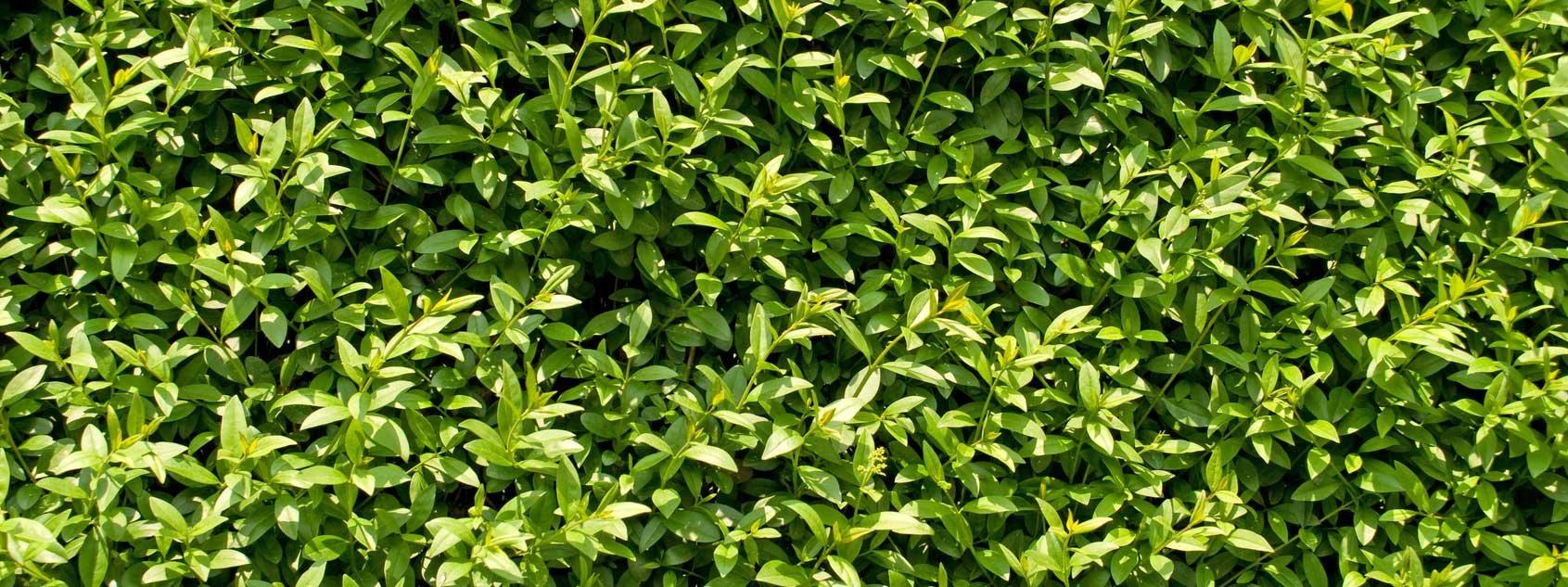 Ora si pianta la siepe di ligustro cose di casa for Ligustro siepe