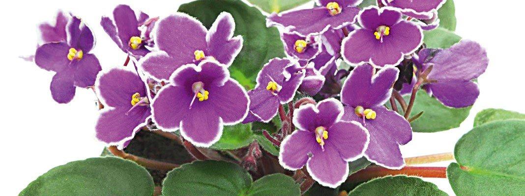 Violetta africana poche cure tanti fiori cose di casa for Violetta africana