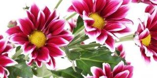 crisantemi fioriti
