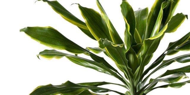 Dracaena fragrans, il tronchetto della felicità: la più facile in appartamento