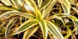 Dracena reflexa variegata – Pleomele