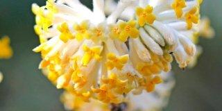 Edgeworthia crysantha