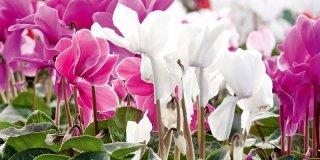 ciclamini viola e bianchi