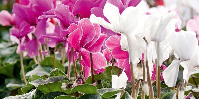 Ciclamino da interni: le cure per mantenerlo fiorito