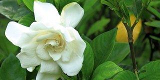 gardenia fiore bianco