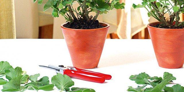 Riprodurre i gerani per talea - Cose di Casa