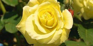 Cure di stagione alle rose