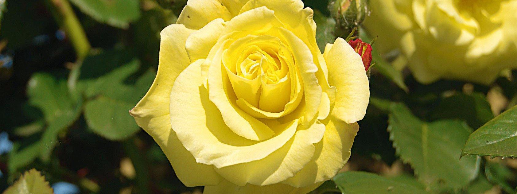 Combattere Afidi Delle Rose cure di stagione alle rose tra afidi, oidio e messa a dimora