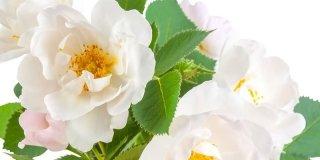 rose bianche rampicanti