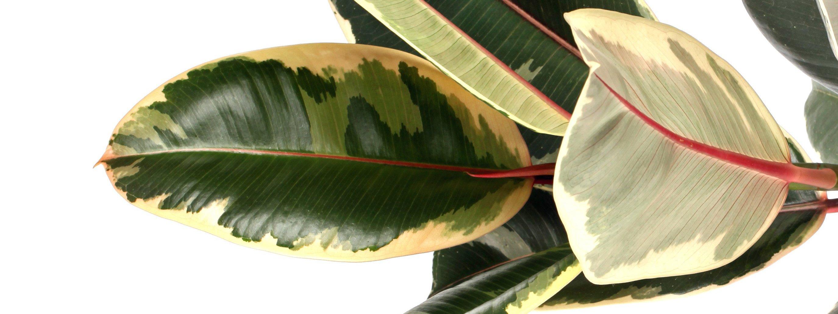 Come Riprodurre Il Ficus Benjamin ficus da interni: esigenze di coltivazione e tipologie