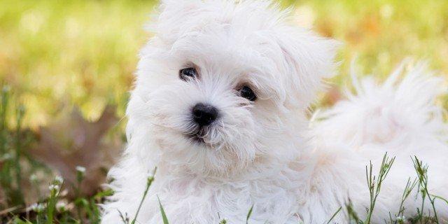 """Maltese: il cane """"ermellino"""" amato da secoli"""