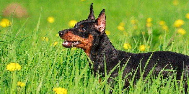 Il pinscher un piccolo cane dal cuore impavido cose di casa for Pinscher nero
