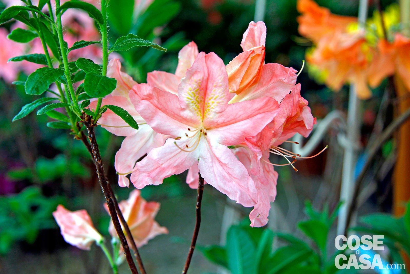 Piante Perenni Resistenti Al Freddo azalea japonica – azalea sempreverde da esterno - cose di casa