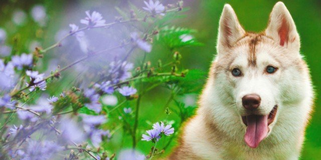 Husky: il celebre Zanna Bianca dal fascino selvaggio