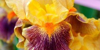 "Iris barbata ""delirium"" – giaggiolo"