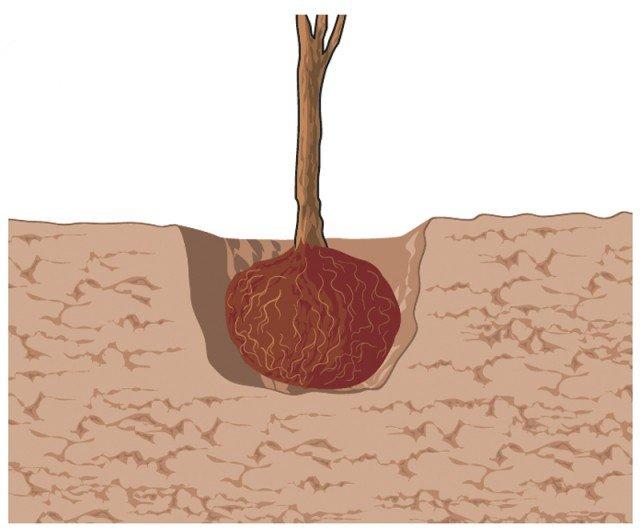 2. Nel momento in cui la pianta è messa a dimora, il pane di terra che contiene l'apparato radicale andrà inserito in profondità, facendo in modo che il colletto rimanga leggermente sotto al piano di campagna.