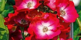 Rosa Mozart petali rossi