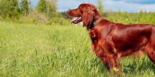 Setter Irlandese: un cane nobile dall'animo delicato