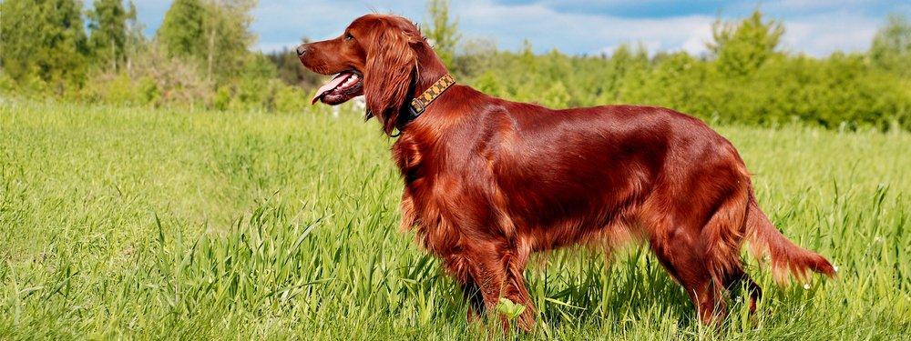 Setter irlandese un cane nobile dall 39 animo delicato for Cane setter