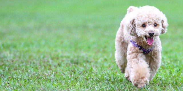 Il barboncino: cane giocherellone, sensibile e vivace