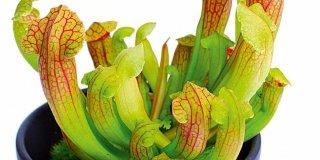 CARNIVORE piante