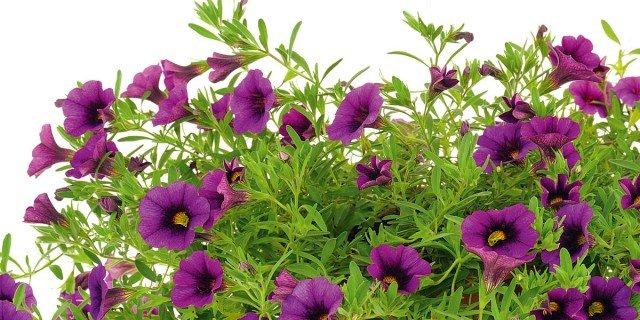 Surfinie e petunie: le cure di stagione