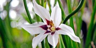 Acidantera bicolor muriele