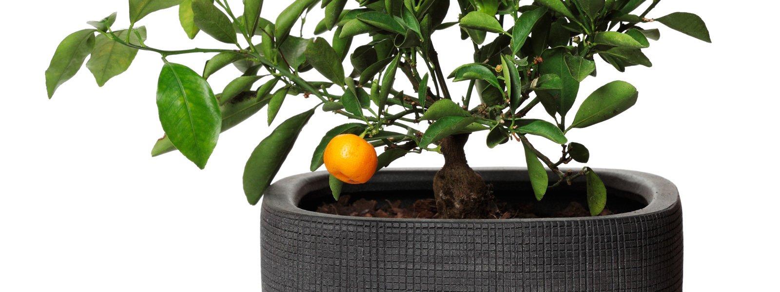 Piante Da Frutto Nane frutta in vaso? si può. come coltivare, scelta varietà