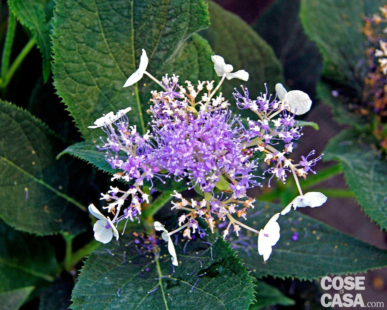 Come Far Fiorire Le Ortensie hydrangea macrophylla 'frisbee'- ortensia - cose di casa