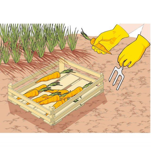 2. Quando si raccolgono bulbi e tuberi (carote, patate, cipolle) fare attenzione a estrarli delicatamente dal terreno per non danneggiarli.