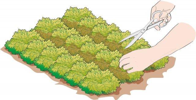 1. Tagliare la lattuga regolarmente a qualche centimetro da terra (3-4 cm) utilizzando un paio di forbici affilate.