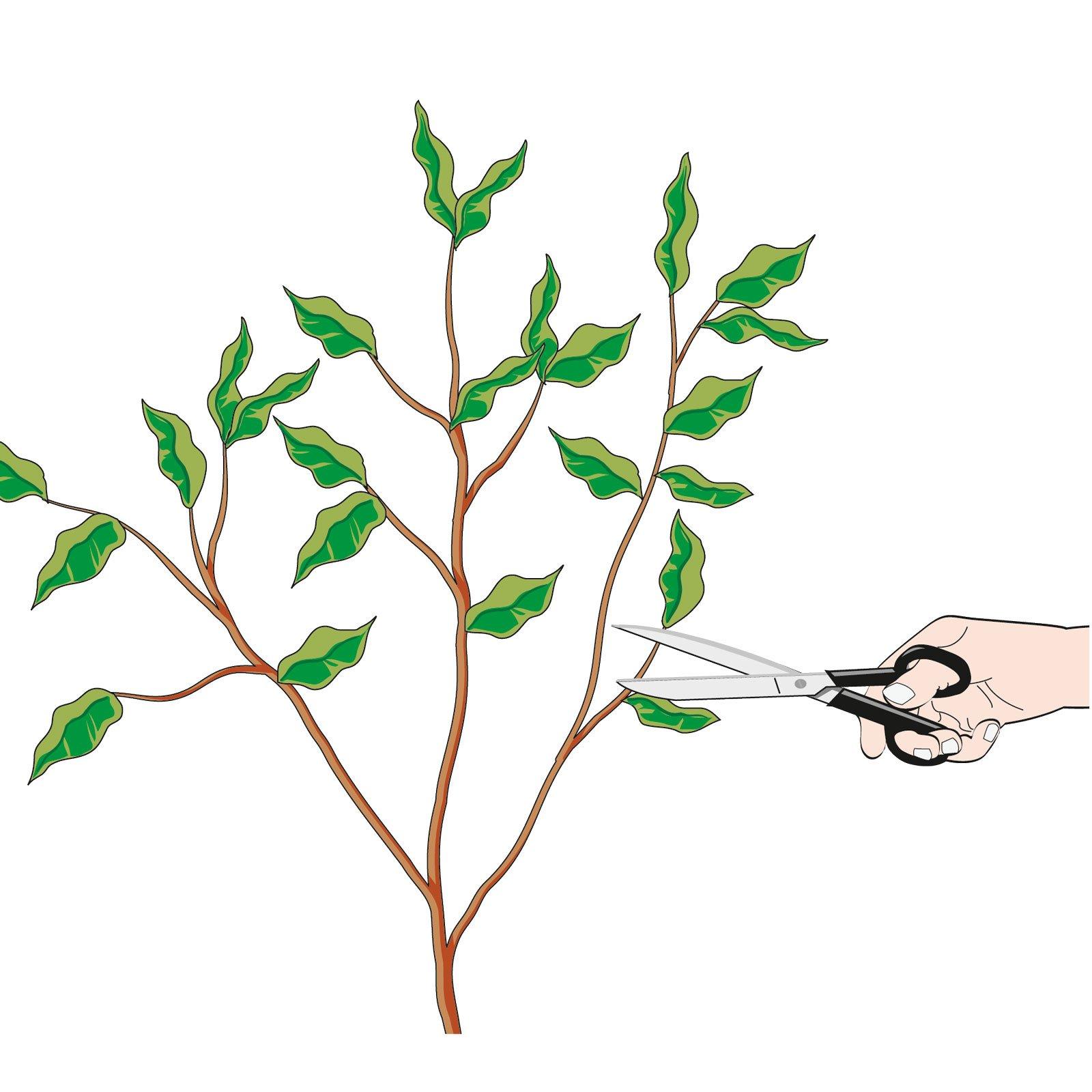 Come Riprodurre Il Ficus Benjamin moltiplicare le piante di casa con talea in acqua e margotta