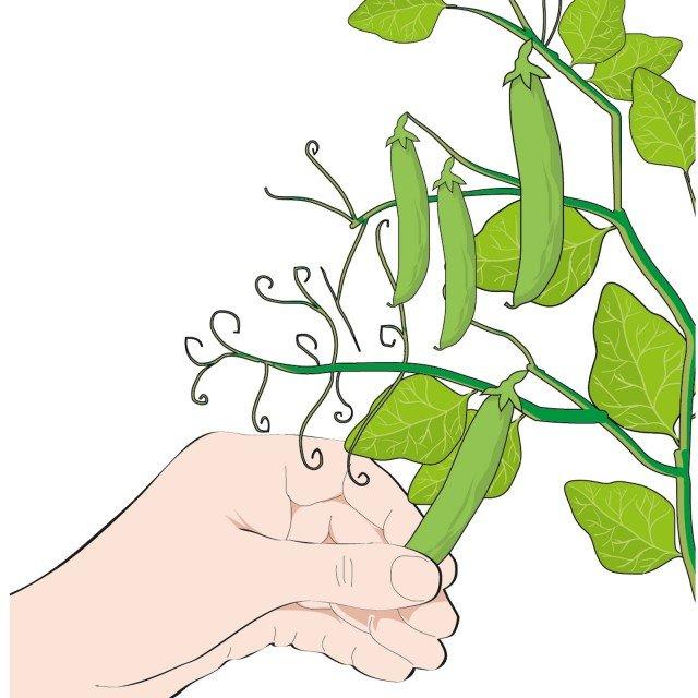 3. Prima di raccogliere i legumi verificare la consistenza del baccello.