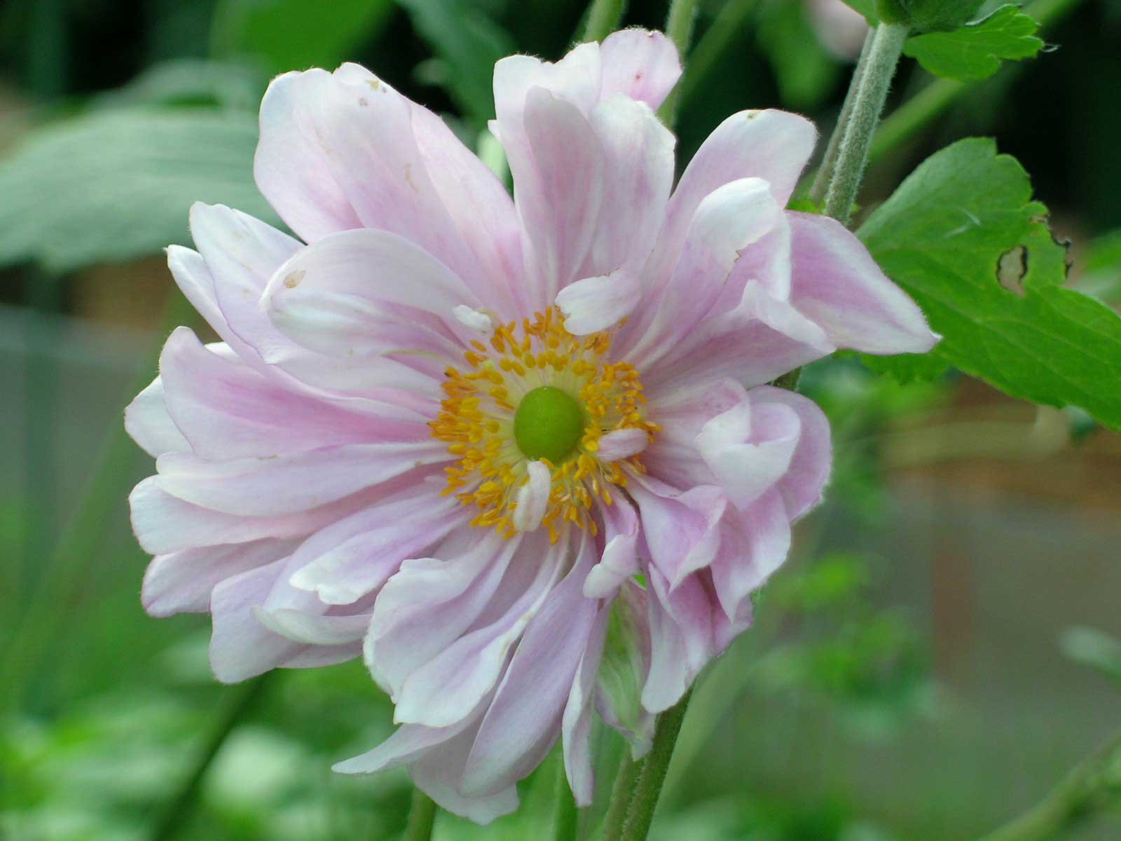 In edicola dal 23 agosto casa in fiore di settembre cose for Anemone giapponese