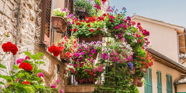 Geranei rigogliosi: le cure d'estate