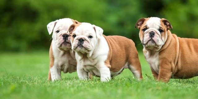 Bulldog inglese cane brutto no bellissimo cose di casa for Testardo in inglese
