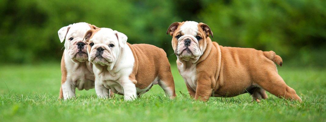 Bulldog inglese cane brutto no bellissimo cose di casa for Affettuoso in inglese