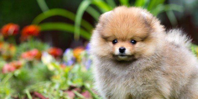 Il cane volpino una piccola volpe domestica cose di casa for Cane volpino